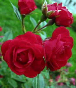 rosemedium_3876917514